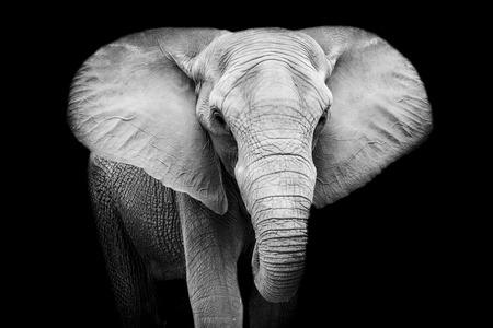 Photo pour Elephant - image libre de droit