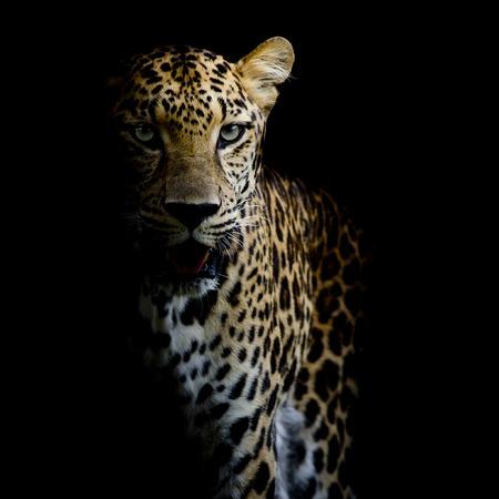 Foto de close up Leopard Portrait - Imagen libre de derechos