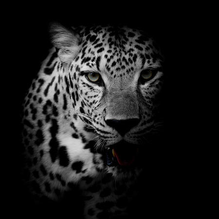 Photo pour close up Leopard Portrait - image libre de droit