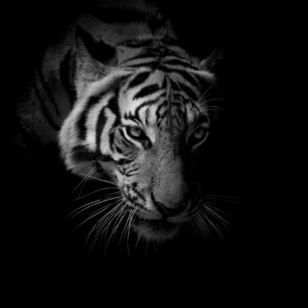 black  white close up face tiger isolated on black background