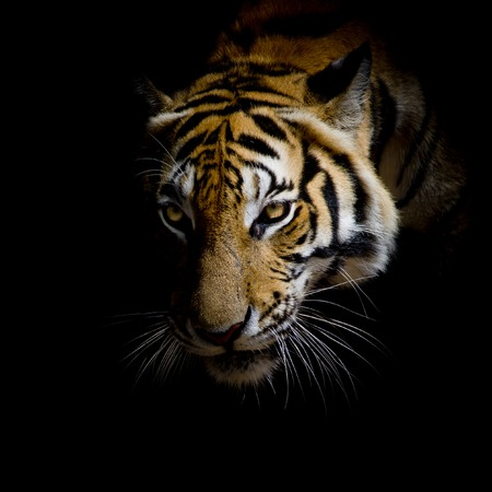 Photo pour close up face tiger isolated on black background - image libre de droit