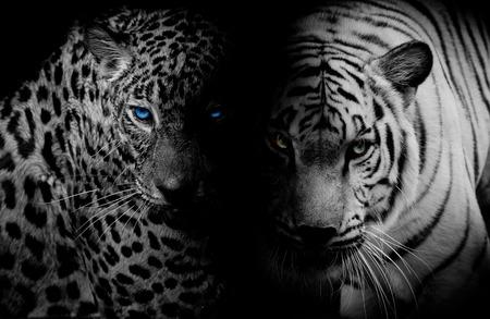 Foto de Black  White Leopard with blue eyes  Tiger isolate black background - Imagen libre de derechos