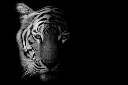 Foto de Black & White Beautiful tiger - isolated on black background - Imagen libre de derechos