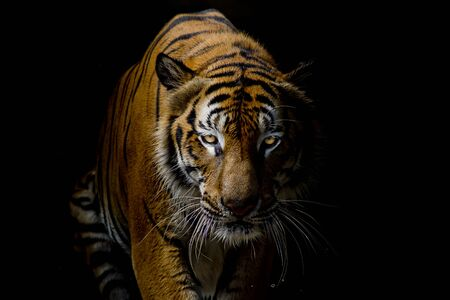 Photo pour Tiger on black - image libre de droit