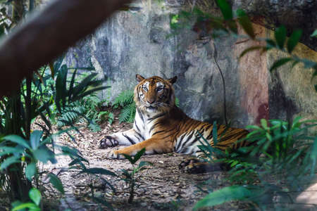 Photo pour Bengal tiger resting and staring with its green eyes in Zoo. - image libre de droit