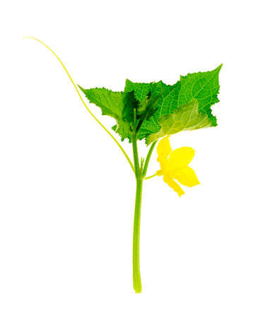 Photo pour Cucumber shoot with green leaves and yellow flower. - image libre de droit