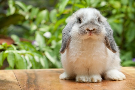Cute holland lop rabbit standing at outdoor