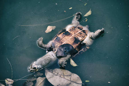 Photo for Pollution problem, Dead turtle in toxic water, Contaminated environmental. - Royalty Free Image