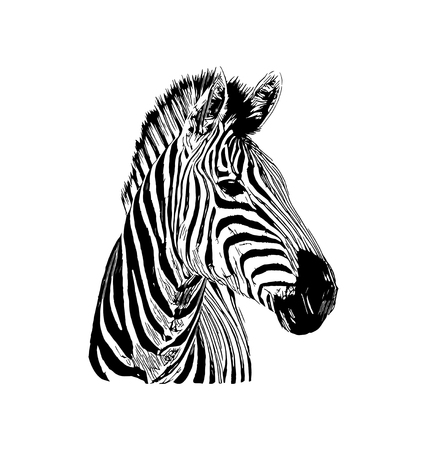 Illustration pour Zebra vector graphic illustration on white background - image libre de droit