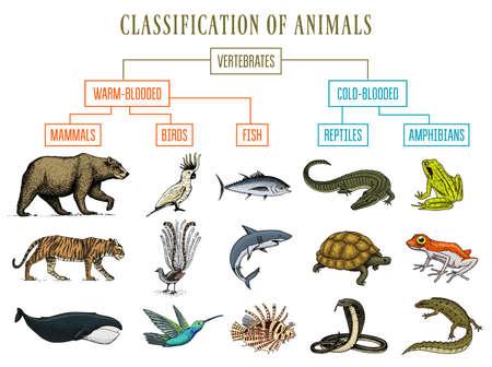 Ilustración de Classification of Animals. Reptiles amphibians mammals birds. Crocodile Fish Bear Tiger Whale Snake Frog. Education diagram of biology. Engraved hand drawn old vintage sketch. Chart of Wild creatures. - Imagen libre de derechos
