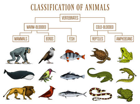 Ilustración de Classification of Animals. Reptiles amphibians mammals birds. Crocodile Fish Lion Whale Snake Frog. Education diagram of biology. Engraved hand drawn old vintage sketch. Chart of Wild creatures. - Imagen libre de derechos
