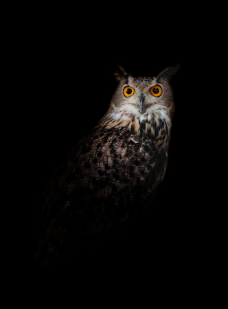 Photo for Owl standing in the dark night black background - Royalty Free Image