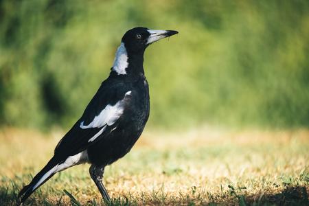 Photo pour Australian magpie outside during the day time. - image libre de droit