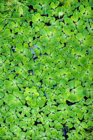 background from green duckweed in water