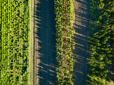 Photo pour Top view of rows of growing young trees. Ecological concept - image libre de droit
