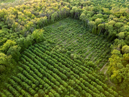Foto de Aerial view from the drone, a birds eye view to the forest with green plantings of various ages and heights. - Imagen libre de derechos