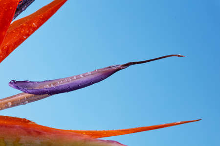 Photo for Petals Strelitzia reginae flower Bird of Paradise close-up on a blue background with copy space. As a layout for postcards - Royalty Free Image