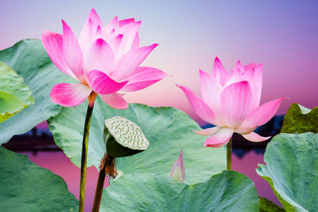 Photo pour beautiful pink lotus flower in blooming at sunset - image libre de droit