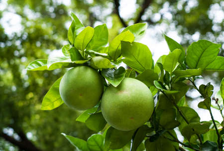 Photo for closeup of green pomelo fruits on a tree - Royalty Free Image