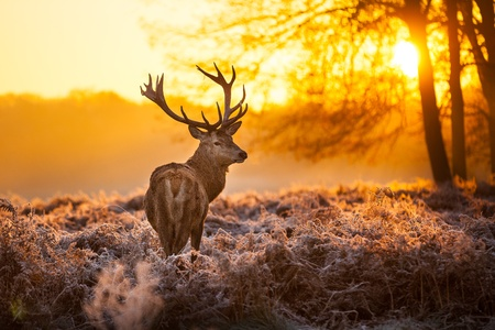 Photo for Red Deer in Morning Sun - Royalty Free Image
