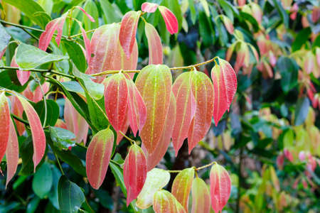 Foto de fresh red colored leaves on Cinnamon Tree (Cinnamomum zeylanicum), Source of cinnamon spice. Masoala forest national park, Madagascar wilderness - Imagen libre de derechos