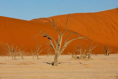 Photo for beautiful evening colors of hidden Dead Vlei landscape in Namib desert, dead acacia trees in valley with blue sky, Namibia - Royalty Free Image
