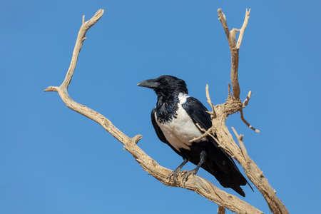 Photo for beautiful bird pied crow (Corvus albus) in namib desert, evening sun, Sossusvlei, Namibia, Africa wildlife - Royalty Free Image