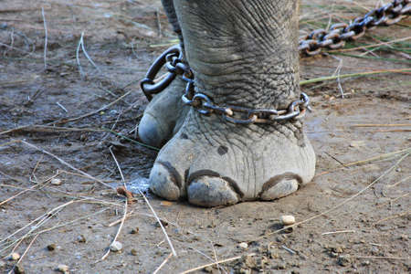 Elephant in Chains