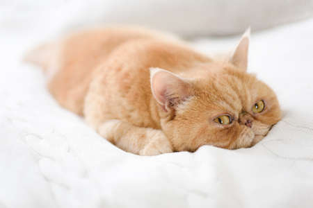 Photo for Cute persian cat laying on bed. Closeup view - Royalty Free Image