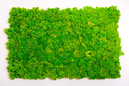 Photo pour Reindeer moss wall, green wall decoration made of reindeer lichen Cladonia rangiferina - image libre de droit