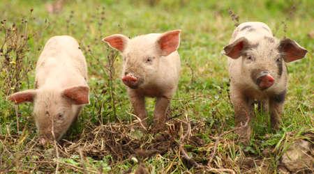 Three funny piglets