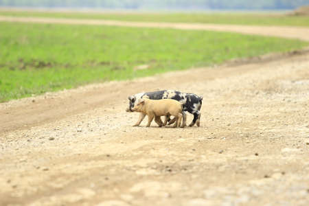 Three piglets on the road