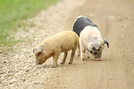 Cute piglets on the farm road