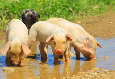 Piglets drinking water from puddle