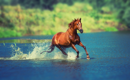 Foto de red horse is running across the blue lake - Imagen libre de derechos