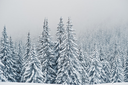 Photo for Pine trees covered by snow on mountain Chomiak. Beautiful winter landscapes of Carpathian mountains, Ukraine. Majestic frost nature. - Royalty Free Image