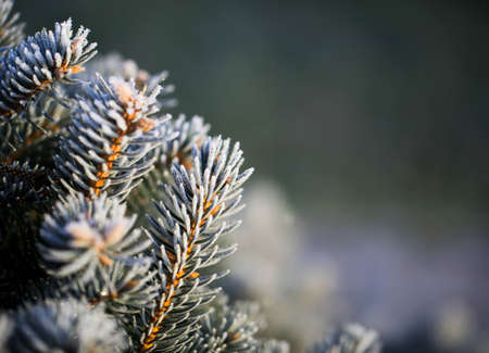 Foto de branches of blue spruce covered with morning frost on a natural background - Imagen libre de derechos