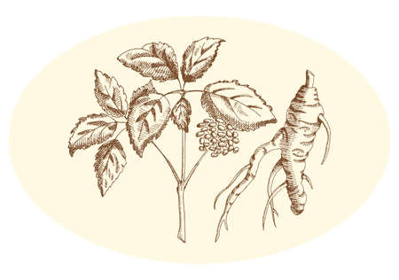 Illustration pour Ginseng in pencil on a neutral background - image libre de droit