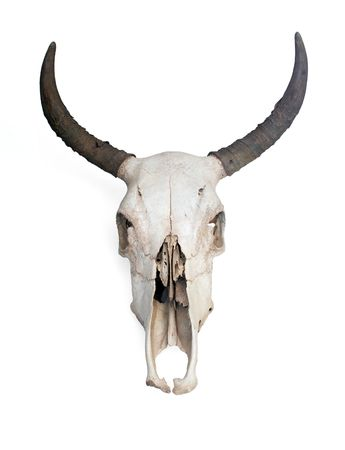 Skull of a cow with medium sized horns.