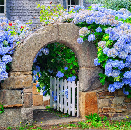 Photo for Blue hydrangea flowers decorating a stone house gate in Brittany, France - Royalty Free Image