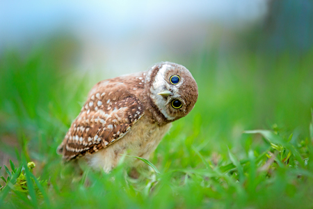 Photo pour Burrowing owlet inspecting photographer - image libre de droit