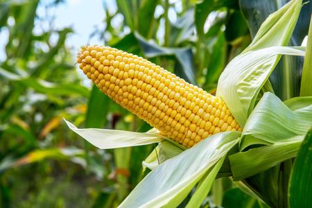 Foto de An ear of corn field - Imagen libre de derechos