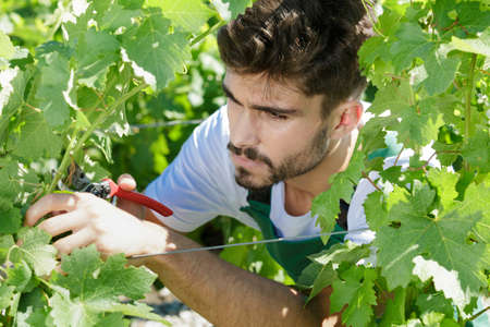 Photo for young male farmer cutting vineyard - Royalty Free Image
