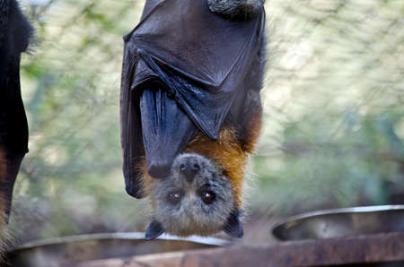 Photo for this is a close up of a fruit bat - Royalty Free Image