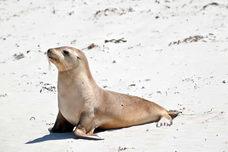 Foto de the sea lion is walking along the beach at Seal Bay - Imagen libre de derechos