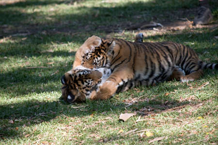 Photo for the tiger cubs are playing with each other - Royalty Free Image