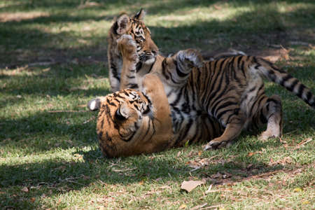Photo for the tiger cubs are playing with each other rolling around on the grass - Royalty Free Image
