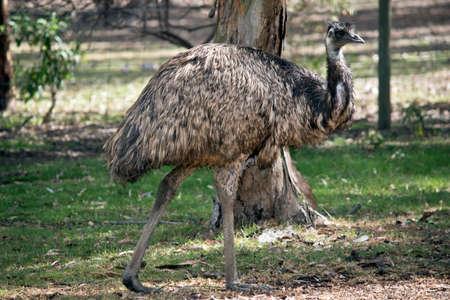 Foto de this is a side view of a Australian emu walking in the parklands - Imagen libre de derechos
