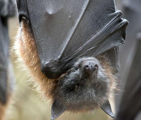 Foto de the fruit bat is hanging upside down - Imagen libre de derechos