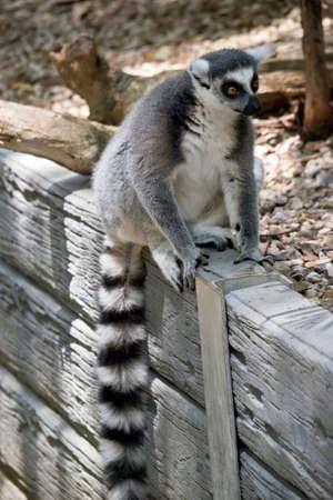 Foto de the ring tailed lemur is sitting on a wall showing his long striped tail - Imagen libre de derechos